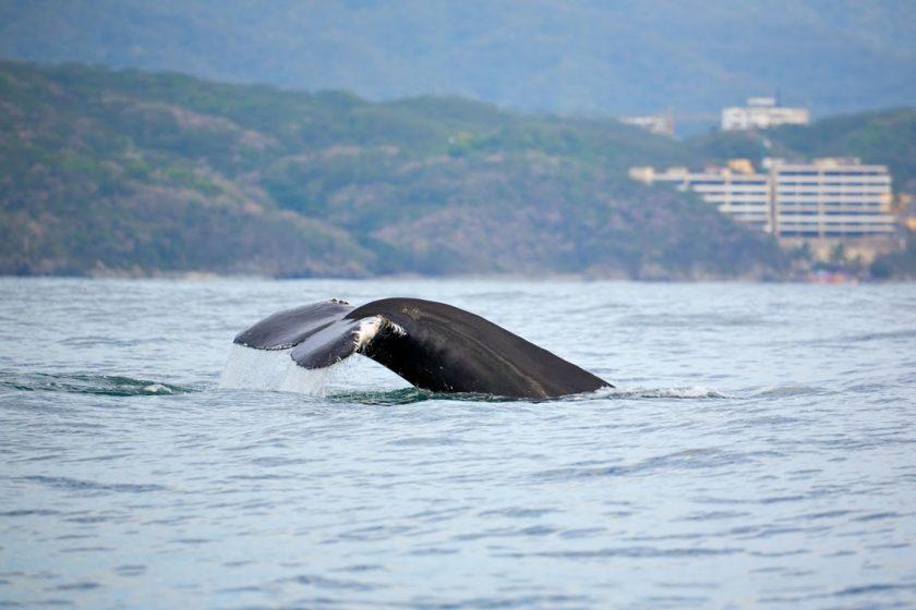 Whale Watching in Puerto Vallarta