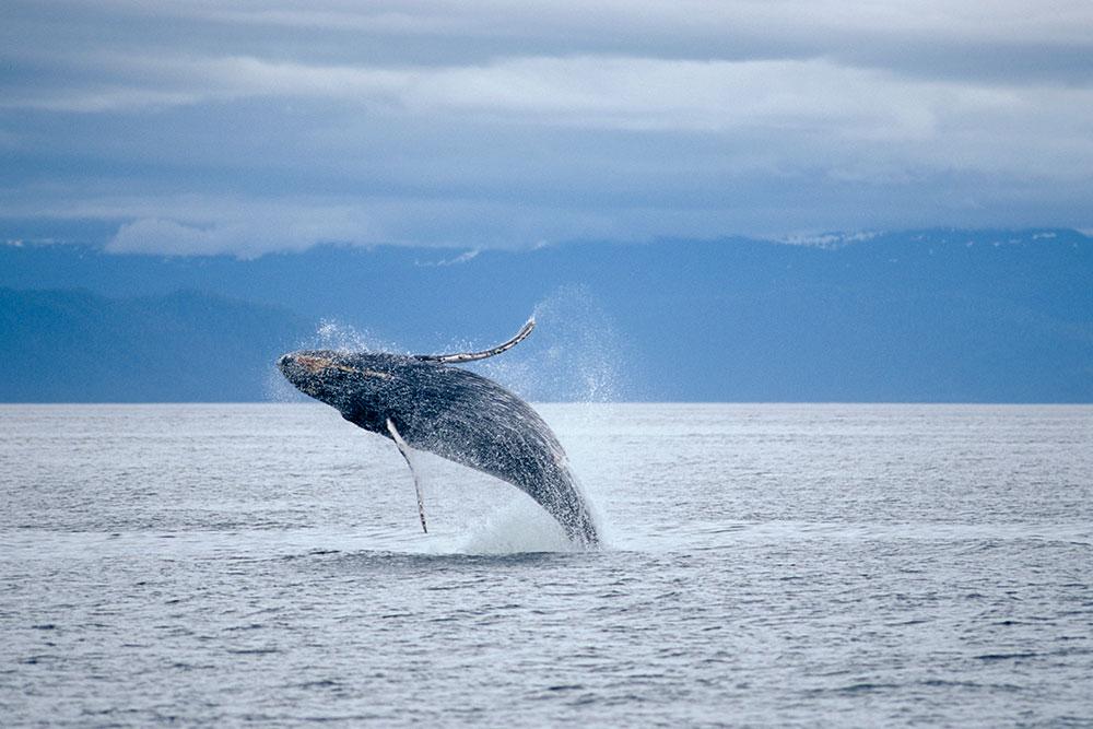 Whale Jumping in Puerto Vallarta
