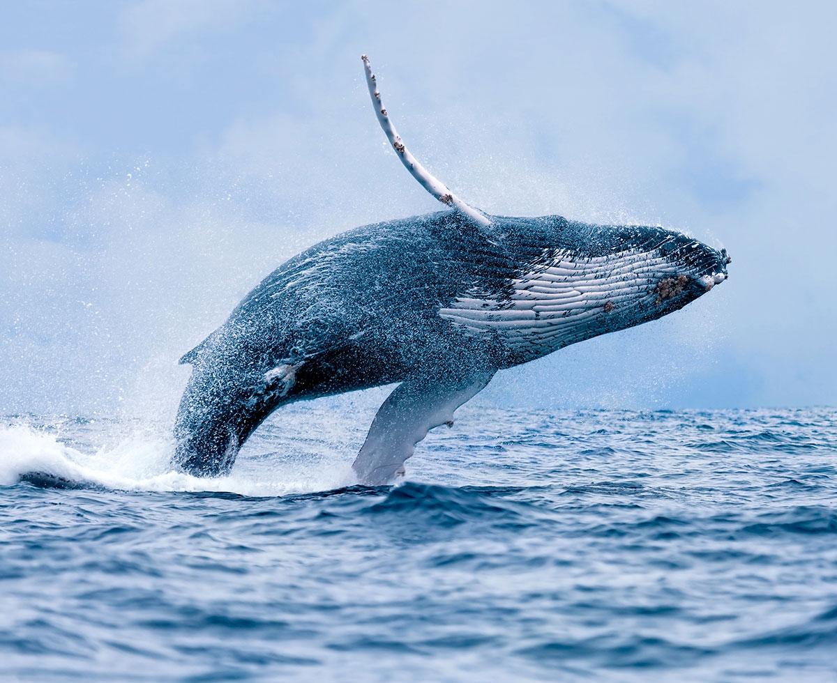 Whale watching season in Puerto Vallarta
