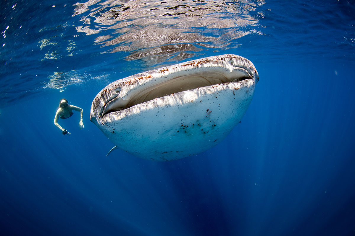 Whale Sharks Tours in Riviera Maya
