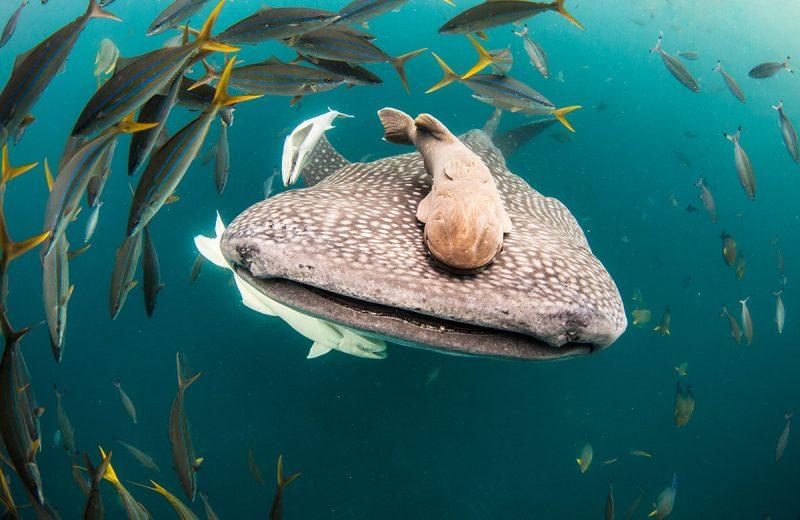 Whale Shark Season in Cabo