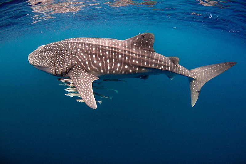 Whale Shark Season in Cabo   Traveler's Blog