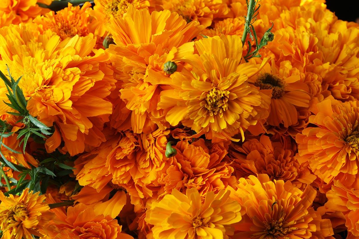 Flowers Cempasuchil